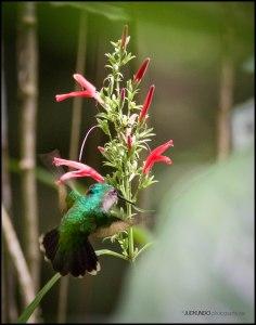 Green Throated Carib 2