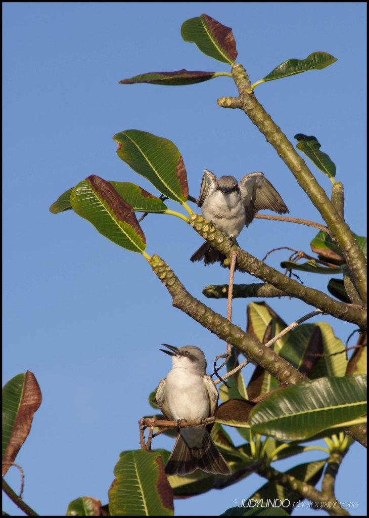 Grey Kingbirds