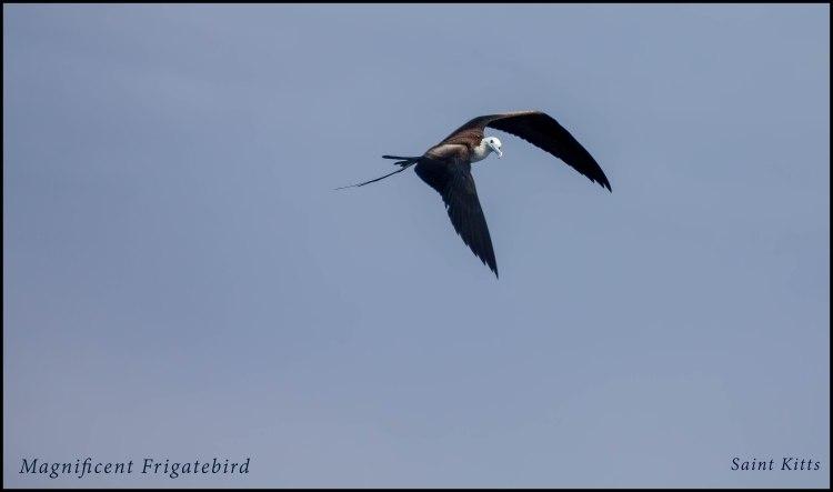 Magnificent Frigetbird