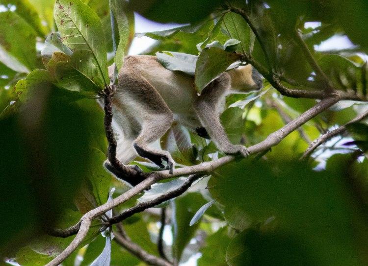 Monkey in the tree canopy