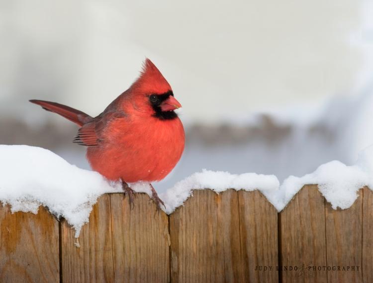 cardinal-inthe-snow