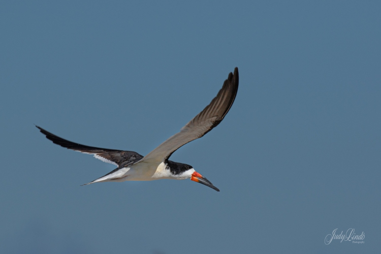 BlackSkimmer