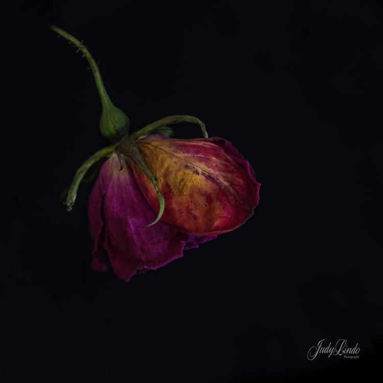 EOL Rose